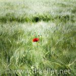 eine Mohnblume im Feld