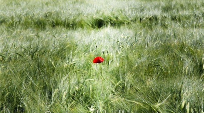 Neue Naturbilder #3 – Einsame Mohnblume im Feld