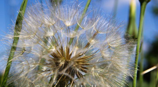 Blühende Pusteblume