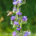 Biene sammelt Nektar an einer Blume