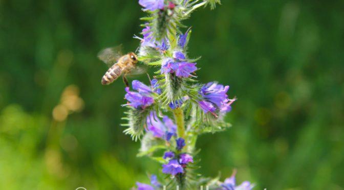 Neue Naturbilder #2 – Biene bei der Arbeit