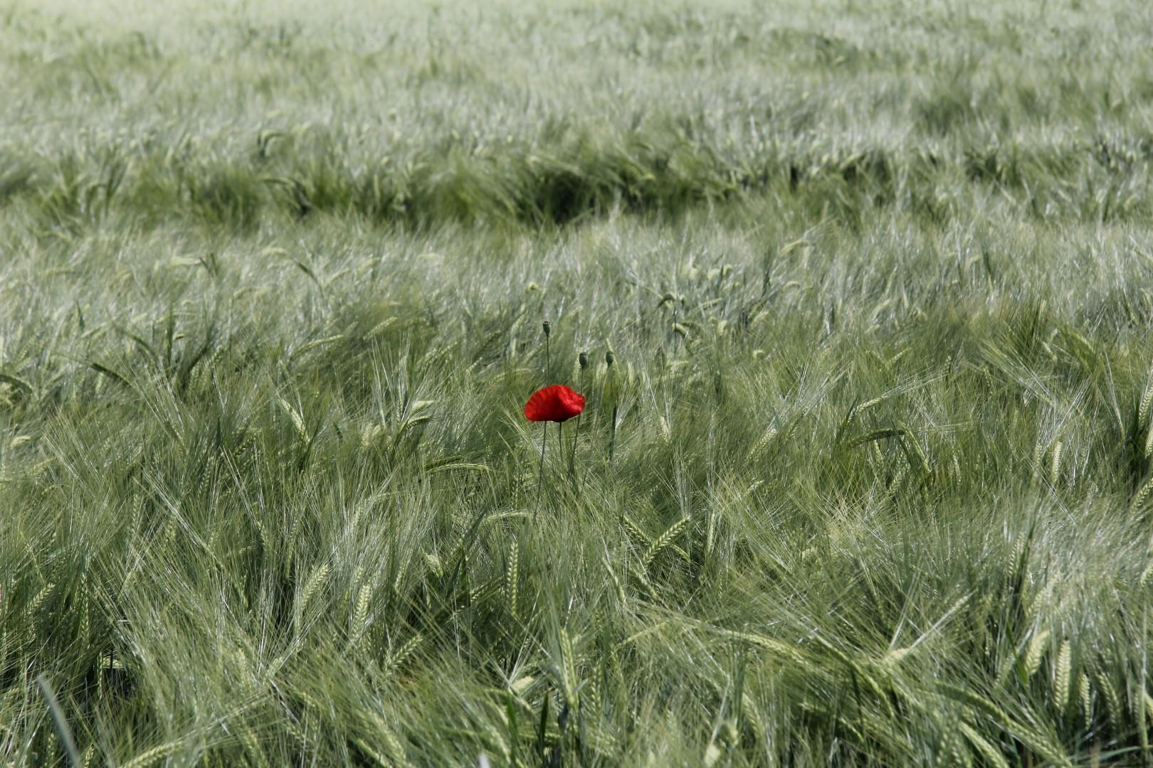 Einsame Mohnblume im Feld Original